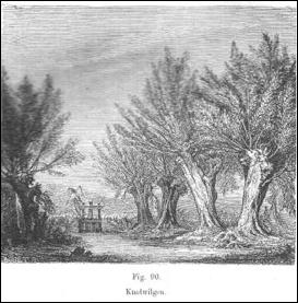 ziekte olijfboom wit